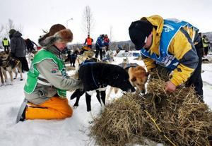 Veterinären Louise Adolfsson från Östersund kontrollerar hundarnas fysiska status medans Claes Arvidsson bäddar med halm.