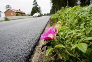 Ros från Asien. Den asiatiska vresrosen har både vackra blommor och stora nypon. Längs med den svenska västkusten har vresrosen tagit över så pass mycket att framkomligheten blivit drabbad.
