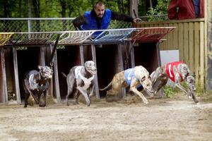 Lars Marklund manar på sin Grayhound Rapp (nummer 1) vid starten av lopp tre. Om det var det som vällde avgörandet är oklart men Rapp var i alla fall snabbast i mål.