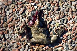 Överkörd. Ett groddjur har fått sätta livet till i Spraxkya.