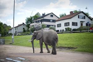 Den här cirkuselefanten tog en promenad i Slottsskogen i Göteborg sommaren 2012. Det hade den inte fått göra om det varit Kalmar 2015. ARKIVBILD.