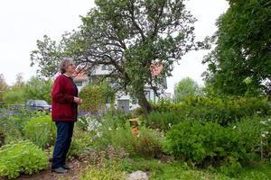 Askarna och äppelträden är hundra år.  Humle har prytt huset i Knätten så länge Helga Olsson kan minnas.