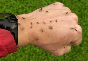 Myggen  har kommit tillbaka.