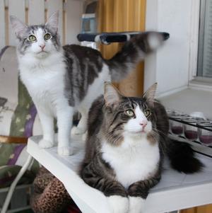 Halvbröderna Lupe och Daim, norska skogkatter, på balkongen förra sommaren.