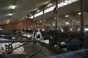 Eftersom att sommarvädret har varit sådär föredrar kossorna att vara inomhus.