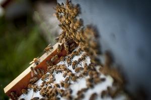 Om bina dör ut hotas vår matproduktion.Foto: Jonas Tetzlaff