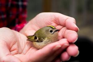 Kungsfågeln är Sveriges minsta fågel.