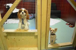 Jakob till vänster och Max är två av hundhotellets återkommande gäster.
