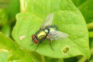 Sind  att  flugor  är  omölig  Störande ed sin Väsande