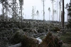 Stormskador drabbades länet av i vintras, men redan Gustav Hedenvind Eriksson skrev om följderna av nedblåst skog.