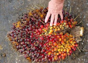 Råvaran som blir miljödiesel pressas fram ur oljepalmer över hela Malaysia. Foto: jan moberg