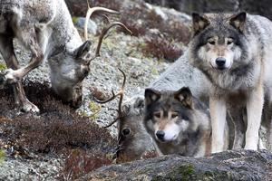 I två veckor till får vargarna jagas. Bilden är ett montage av genrebilder.