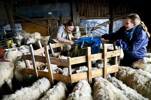Buffar och trängs. Josefine och gårdens svärdotter Maria Fröjd försöker fylla foderbordet med ensilage. Det är inte lätt när alla tackorna vill fram för att äta.