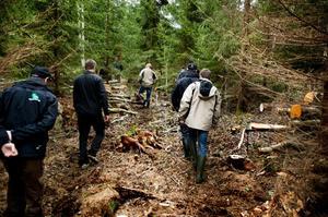 Avverkningen genomförs dels i smala stråk eller korridorer in i bestånden och ofta som här i ganska svårtillgänglig terräng i tät ungskog.