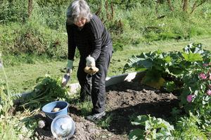 Miriam Bengtsson har satt potatis, odlat dill, persilja, sallad, rädisor, bondbönor, palsternacka och morötter på sin lott.