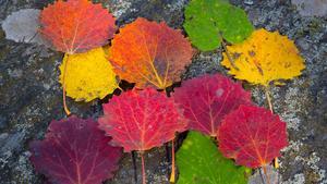 En palett höstfärgade löv, tagen i Rocklundaskogen.
