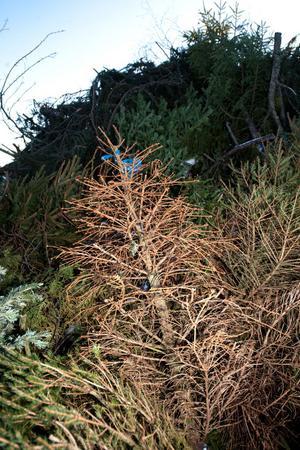 Julgranar på Fågelmyra avfallsanläggning.