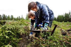 Ett hundratal plantor av olika kloningar planteras i veckan ut av bland annat Jonas och David Nilsson. Foto: Ulrika Andersson