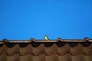 Den större talgoxungen vågade först lämna boets trygga vrå och spanade snabbt in utsikten från ett tak.