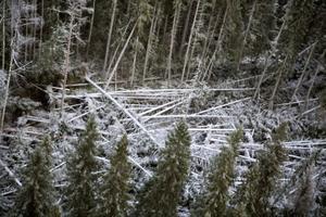 PÅ vissa platser har en hel del träd blåst ner.