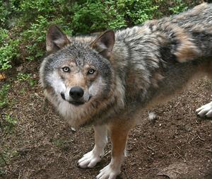 Det finns jägare som vill utrota vargen.