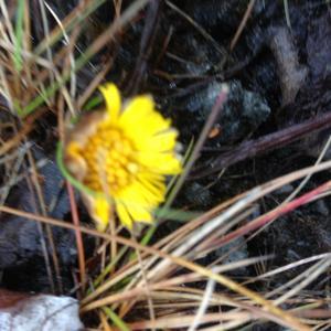 Det milda vädret har fått tussilagon att blomma i Åre.