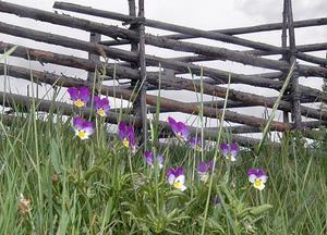 Sommaren är i antågande och snart kommer det också djur till hagarna vid Mittjasvallen.
