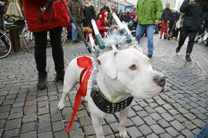 På Luciadagen för tre år sedan tågade ett 30-tal hundar iförda tomtedräkter, vita lakan och glittrande kronor tillsammans med mattar och hussar genom centrala Malmö. Syftet var att samla in pengar och prylar till hemlösas hundar.