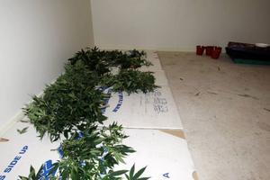Beslaget av cannabisplantorna är ovanligt stort för att vara i länet. Foto: Håkan Degselius