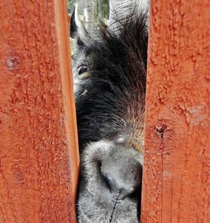 På besök i Vallby häromdagen gick vi förstås runt och tittade på djuren. Denna get verkade väldigt nyfiken på oss och kastade ett getöga ut genom springan i staketet.