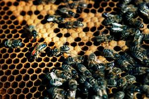 Ser ni biet med den röda pricken på, det är drottningen, hon som basar i kupan. Det finns bara en drottning i varje bisamhälle, resterande 49 999 bin är arbetare eller drönare.