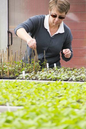 Anna Gustafsson är säsongsträdgårdsmästare i kommunen och tar hand om de små plantorna i växthuset.