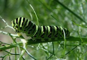 Vi har tre sådana här kompisar i grönsakslandet. De blir så småningom makaonfjärilar.