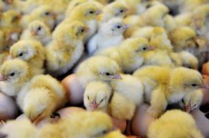 Djurens Rätt kräver att kycklingarna ska få vistas ute, nolltolerans mot att kycklingar dör under transport och inga snabbväxande kycklingraser.