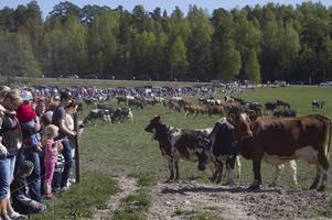 Folknöje. Drygt 3000 såg betessläppet på gården Gärdshammar i Ramnäs. Det är nästan en fördubbling mot förra gången, 2009. Då kom cirka 1800 personer.