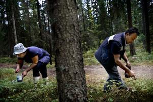 Katia och Ivo är två av många bulgarer som hittat till Kopparberg för att plock blåbär.