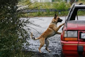 Genrebild för polishund från TT.
