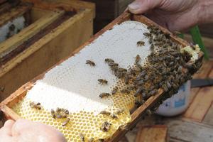 Att ha snälla bin gör arbetet mer bekvämt. Speciellt för hobbyodlaren.