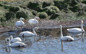 Några svanar av flera tusen som rastar vid Hornborgasjön varje vår.