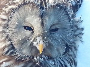 Ugglan i snön.