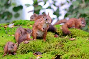 Besök av mamma ekorre med hennes 6 ungar....eller kanske pappa ekorre som 7-åriga sonen tror....