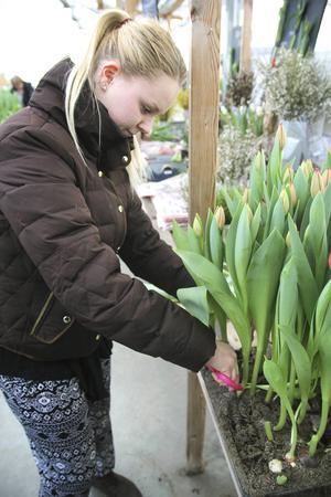 Röda och gula är favoritfärgerna på tulpaner för Eleonor Netsö.