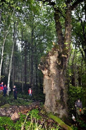 Tandvärks-almen. Det stora trädet ansågs förr besitta magiska egenskaper, bland annat kunde det bota tandvärk.