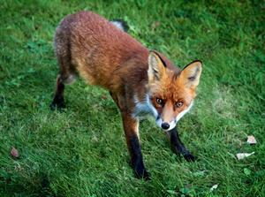 De är ofta de unga rävarna som inte har någon motståndskraft som drabbas av skabb. Som värst härjade sjukdomen i Sverige på 1970- och 1980-talen då populationen minskade kraftigt.