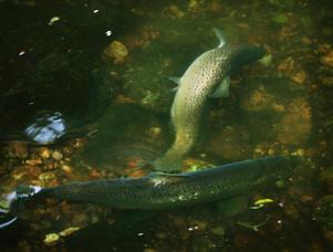 Öringlek i Norrtäljeån. Just nu är det gott om öringar, men det är förbjudet att fiska fram till 1 januari.