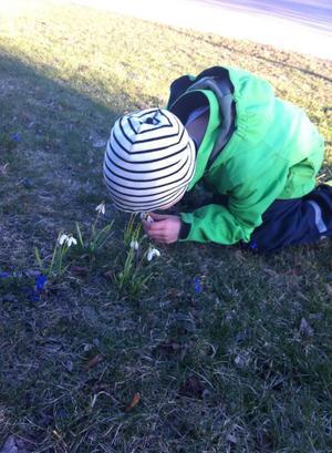 Luktar honung, tycker vår son på väg från dagis, när han såg första vårblommorna.