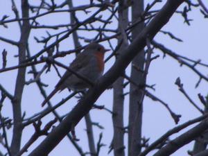 Rödhaken satt i trädet och sjöng för oss på vår kvällspromenad i närheten av Djäkneberget