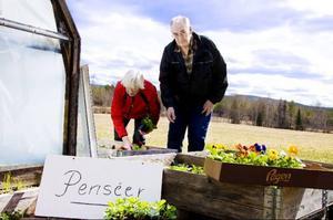 Gösta Olofsson har alltid tyckt om trädgårdsarbete. Även i år har han sett till att fylla urnorna och krukorna hemma på gården med färggranna penséer. Lilian Eriksson, som på hobbynivå driver upp och säljer penséer, hjälper Gösta att välja ut blommor. Foto: sandra Högman