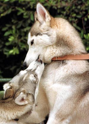 Siberian husky.Foto: Scanpix