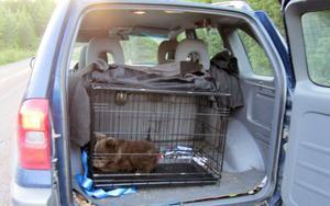 Hanse Hansson tog hand om björnungen, kontaktade med Orsa björnpark och transporterade den lilla nallen till björnparken.